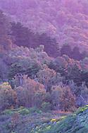 "'Pastel"" trees backlit at sunset, Berkeley Hills, CALIFORNIA"