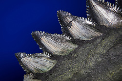 giant scissor-toothed shark, Edestus giganteus, tooth row fossil, about 300 million years old, from Southern Illinois, USA