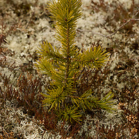 """Growing only inches a year, a young spruce tree at the edge of a taiga forest sprouts through tundra north of the Arctic Circle in Russia.  Surrounding it are appropriately-named white, multi-branched """"reindeer lichen,"""" a staple for its namesake."""
