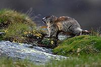 Alpine Marmot (Marmota marmota) in the rain. Hohe Tauern National Park, Carinthia, Austria
