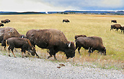 """Calf and adult bison. American bison are protected within Yellowstone National Park, Wyoming, USA. The American bison (scientific name """"Bison bison"""") is also known as buffalo, despite being only distantly related to true buffalo. Members of the genus Bison are large, even-toed ungulates within the subfamily Bovinae. Yellowstone was the first national park in the world (1872), and UNESCO honored it as a World Heritage site in 1978."""