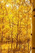 A Golden Fall In Grand Teton National Park