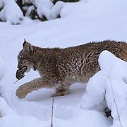 Canada Lynx, (Lynx canadensis) Montana. Sub adult in snow. Winter. Captive Animal.