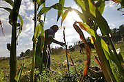 Teresa Ruiz Gomes looks for fallen corn stalks to feed her cows at her farm in Xicalcal, Guatemala.