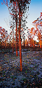 Regrowth after Bush Fires, Lake Macquarie, NSW, East Coast Australia