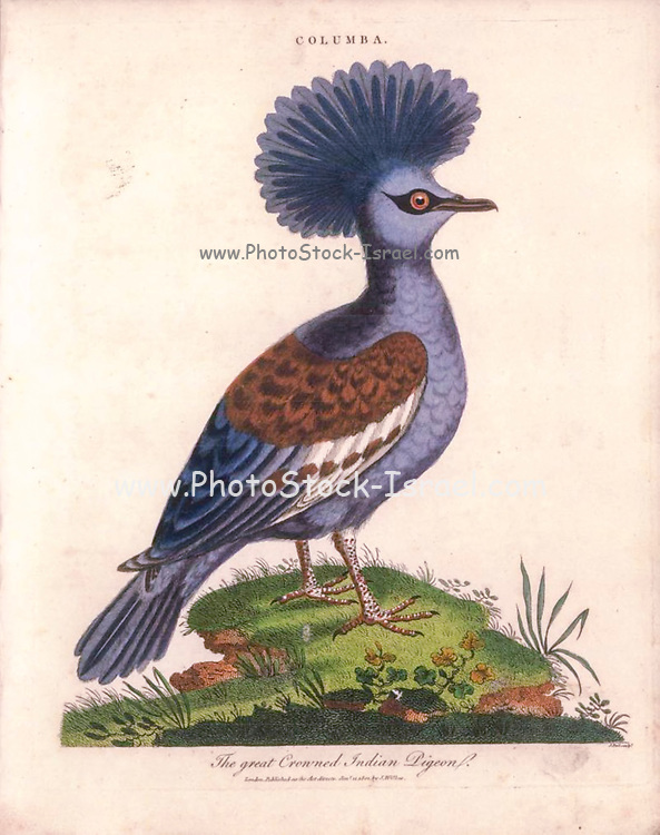 Western crowned pigeon (Goura cristata) [Great crowned Indian pigeon (Columba coronata)] AKA Common crowned pigeon or blue crowned pigeon, Handcolored copperplate engraving From the Encyclopaedia Londinensis or, Universal dictionary of arts, sciences, and literature; Volume IV;  Edited by Wilkes, John. Published in London in 1810