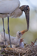 Stock photo of wood stork captured in Florida.  The wood stork is the only native stork in North America.  These birds are mainly silentexcept for hissing and bill clappering.