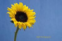 Yellow Sunflower (horizontal/landscape orientation) blue background