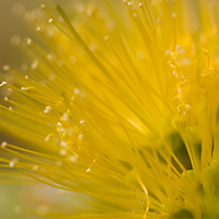 `Ohi`a, `Ohi`a lehua, Metrosideros macropus, blossom, yellow