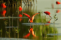 A group of Scarlet Ibises (Eudocimus ruber) feeding and preening in the water by mangrove trees.