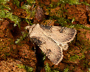 Close-up of a male Shuttle-shaped dart moth (Agrotis puta) resting with partially open wings on a tree in a Norfolk garden in summer