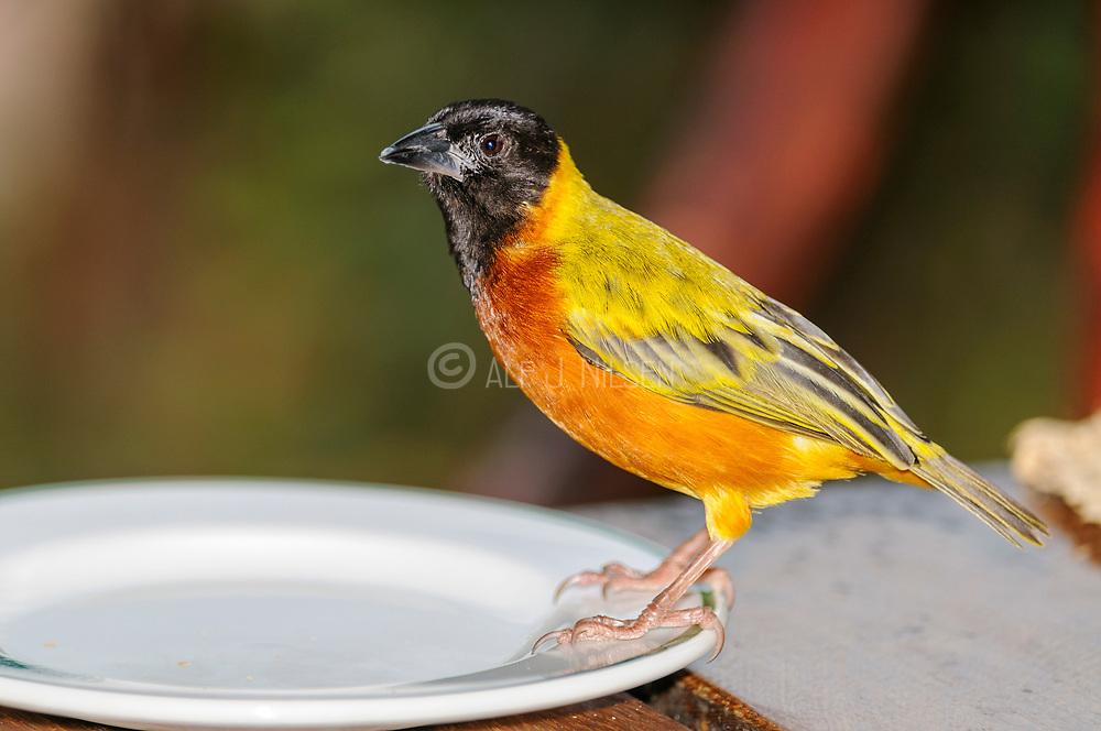 Golden-backed Weaver (Ploceus jacksoni, male) from Queen Elisabeth NP, Uganda.