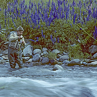 FISHING, Chile. Fly fishing guide Carlos Munoz by spring lupines, near Coihaique (Patagonia) (MR)