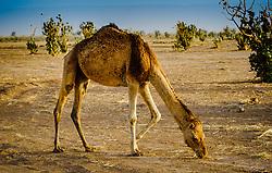 A camel in the Moroccan Sahara Desert near Chegagga in the early morning<br /> <br /> (c) Andrew Wilson | Edinburgh Elite media