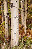aspen trunks with autumn foliage, Hazen's Notch, Vermont