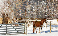 Lone Chestnut Horse with star in snow covered corral on a sunny December morning in Dane County, Wisconsin.