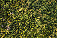 Aerial view of a nordic pines forest in Estonia.