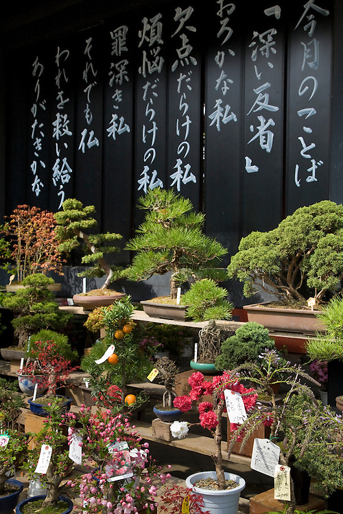 Asia, Japan, Tokyo, display of bonsai trees for sale.