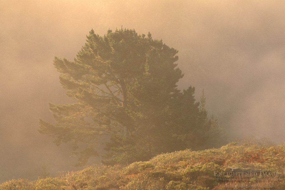 Golden sunrise light on fog and mist over pine tree on hillside, Golden Gate NRA, Marin Headlands, California