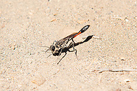 This large, extremely active and fast-moving wasp is best known for it's parenting behavior. At about two-inches in length, this nectar and small insect-eating burrowing predator will search for a large caterpillar which it will sting it with just enough venom to incapacitate it, but keep it alive. It will then pull, fly or drag it into its burrow, then lay a single egg on the paralyzed caterpillar. When the egg hatches, the larvae will consume the still-living caterpillar for days until it pupates then emerges from the ground as an adult and flies away to start the next cycle. While not aggressive towards humans, it can deliver a nasty sting if provoked. This one was found in the sagebrush desert near Naches, Washington just west of Yakima.