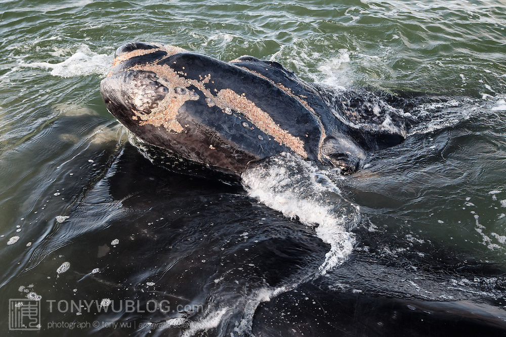 A southern right whale calf (Eubalaena australis), resting its head on top of its mother while looking at me. The callosities that are characteristic of this species are beginning to show on the calf's head. Note also that the calf already carries a full complement of whale lice, what appear to be mostly or entirely Cyamus ovalis. Photographed with the permission of the Department of Environmental Affairs, South Africa.
