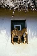 baby goats find shade on a window sill, Curacao, Netherlands Antilles ( Dutch Caribbean )