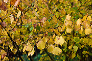 Hazel hedge with catkins during Autumn in The Cotswolds, UK