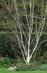 Silver birch tree - Betula utilis var. jacquemontii