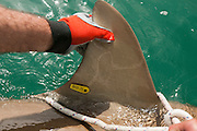Researchers are tagging a sandbar shark (Carcharhinus plumbeus) in the Mediterranean sea. In recent years this shark has become more common in the Mediterranean especially near power plants hot water outlets. Photographed in February of the Hadera shore, Israel The tracking tag can be seen on the shark's fin
