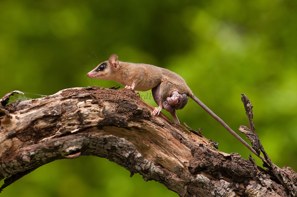 Linnaeus's Mouse Opossum (Marmosa murina), also Common or Murine Mouse Opossum with young.<br /> Marsupial mammal gives birth to 5-10 young. CONTROLLED<br /> Yupukari<br /> Rupununi<br /> GUYANA<br /> South America<br /> RANGE: Colombia, Venezuela, Trinidad and Tobago, Guyana, Suriname, French Guiana, Brazil, eastern Ecuador, eastern Peru, and eastern Bolivia.