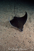 bull ray or common eagle ray, Myliobatis aquila, found in Eastern Atlantic from North Sea to South Africa, and in Mediterranean Sea