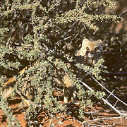 Yellow Mongoose, (Cynictis penicillata) Peeking out from under low shrub in red sand of the Kalahari Desert. Africa.