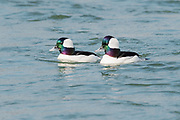 Pair of male Bufflehead with perfect light highlighting their feather iridescense