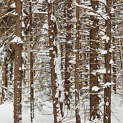A grove of spruce trees in winter at the Notchview Reservation in Windsor, Massachusetts.