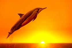 Hawaiian spinner dolphin, long-snouted spinner dolphin or Gray's spinner dolphin, Stenella longirostris longirostris, leaping at susnet, Kona Coast, Big Island, Hawaii, USA, Pacific Ocean