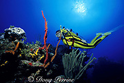 diver explores coral reef with red finger sponges, Amphimedon compressa, Ambergris Caye, Belize, Central America ( Caribbean Sea ) MR 106