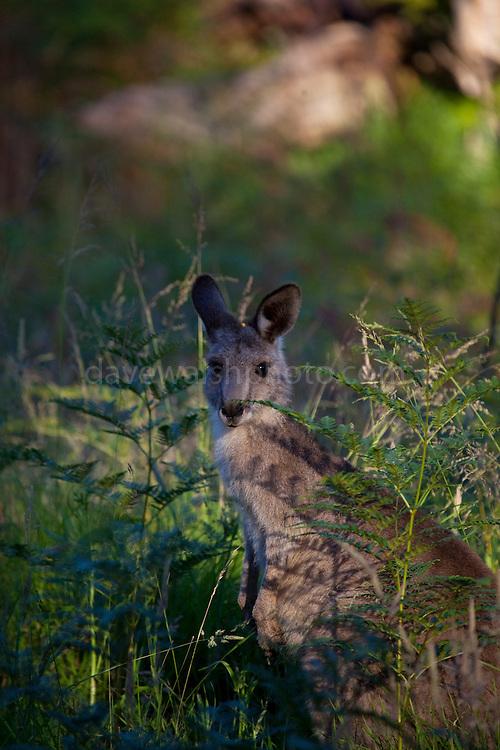 Young Eastern Grey Kangaroo, at Tom Groggins, Mount Kosciuszko National Park