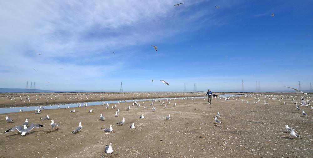 SFBBO Gull Count