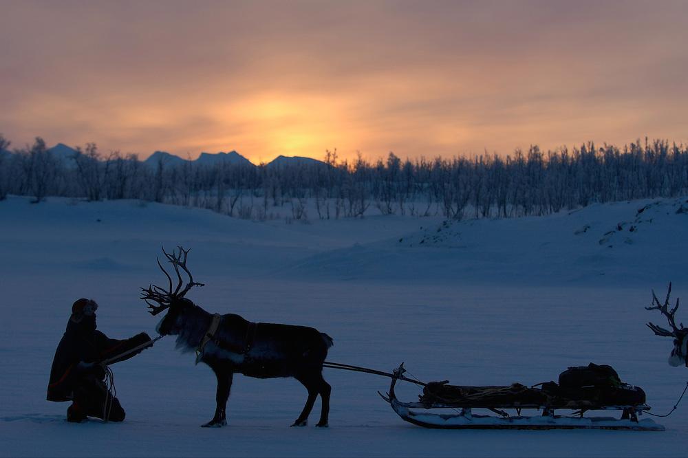 Reindeer sledding ecotourism expedition, Stora Sjofallet N.P, Laponia World Heritage Area, Lapland, Sweden.