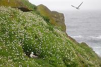 Fulmar, Fulmarus glacialis, in flower bed, Saltee Islands Ireland