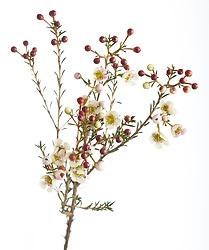 Waxflower cut out. Chamelaucium