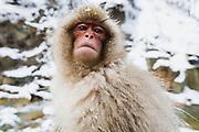 A close-up portrait of an infant snow monkey (Macaca fuscata), Jigokudani, Yamanouchi, Japan