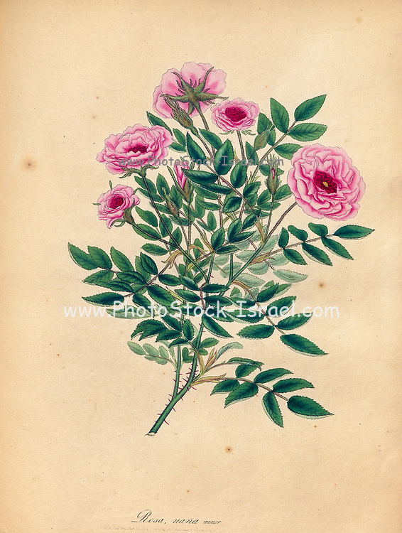ROSA nana, minor, Small Dwarf or Pompone Rose From the book Roses, or, A monograph of the genus Rosa : containing coloured figures of all the known species and beautiful varieties, drawn, engraved, described, and coloured, from living plants. by Andrews, Henry Charles, Published in London : printed by R. Taylor and Co. ; 1805.
