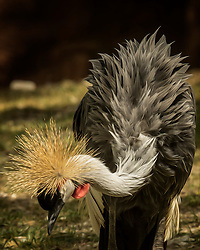 The Grey Crowned Crane is a bird in the crane family Gruidae. It occurs in dry savannah in Africa south of the Sahara, although it nests in somewhat wetter habitats.They can also be found in marshes