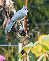 Tufted Titmouse. Image taken with a Nikon N1V3 camera and 70-300 mm VR lens.