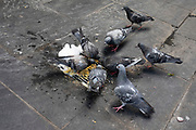 Motley group of pigeons scraping a life on the street in Berwick Street in Soho, London, United Kingdom. As local street food traders close up for the day food scraps mix with soap in a drain and all these scraps are eaten up by the birds.