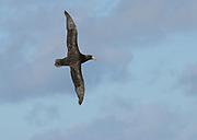 A Southern Giant Petrel (Macronectes giganteus) in flight. South Atlantic Oceaan, Falkland Islands.