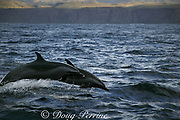 pantropical spotted dolphins, Stenella attenuata, porpoising, Wild Coast, Transkei, South Africa ( Indian Ocean )