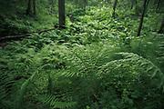 The green  crowd in forest undergrowth with Ferns and Puzzlegrass along small stream, Gauja National Park (Gaujas Nacionālais parks), Latvia Ⓒ Davis Ulands   davisulands.com