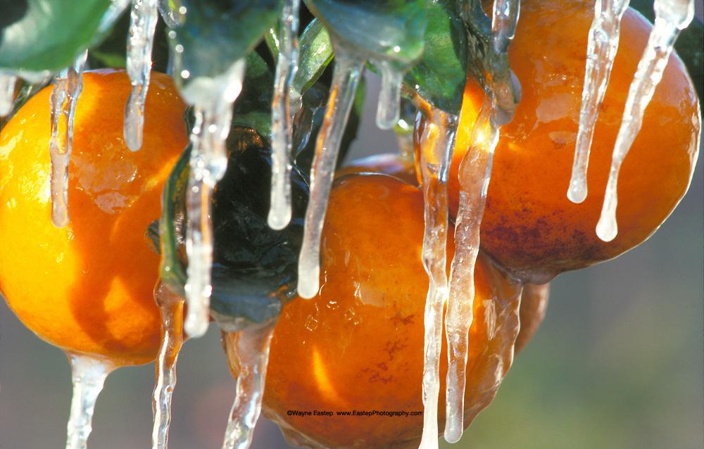 Protecting oranges from freezing, Florida